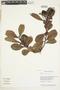 Humiria balsamifera Aubl., Guyana, B. Hoffman 3669, F