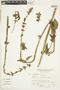 Salvia alata Epling, Peru, A. Sagástegui A. 11840, F