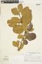 Couratari guianensis Aubl., Guyana, S. S. Tillett 45784, F