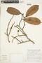 Couratari macrosperma A. C. Sm., Brazil, S. A. Mori 11869, F