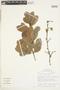 Couratari oblongifolia Ducke & R. Knuth, Brazil, J. F. Pruski 3395, F