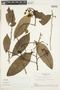 Couratari oligantha A. C. Sm., Brazil, W. Egler 46321, F
