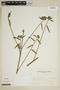 Pavonia angustifolia Benth., Brazil, A. Krapovickas 29937, F