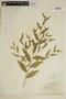Sida acuta Burm. f., Brazil, B. J. Pickel s.n., F