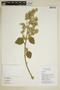 Sida cordifolia L., Ecuador, V. Tafur 261, F