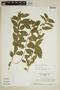 Sida glomerata Cav., SURINAME, H. S. Irwin 55319, F