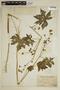 Sida jatrophoides L'Hér., Peru, A. Weberbauer 7427, F