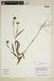 Sida linifolia Juss. ex Cav., Guyana, B. Hoffman 3692, F