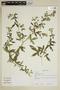 Sida oligandra K. Schum., Peru, C. L. Burandt 2370, F