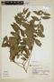 Sida planicaulis Cav., Brazil, G. G. Hatschbach 31189, F