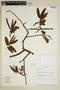 Virola flexuosa A. C. Sm., Ecuador, A. H. Gentry 80930, F