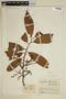 Iryanthera ulei Warb., Colombia, J. Cuatrecasas 15847, F