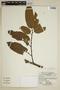Virola calophylla (Spruce) Warb., Bolivia, A. Cruz 15, F