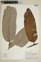 Virola calophylla (Spruce) Warb., Peru, A. H. Gentry 25093, F