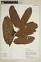 Virola calophylla (Spruce) Warb., Peru, M. Rimachi Y. 10447, F