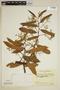 Virola carinata (Benth.) Warb., Colombia, R. E. Schultes 17006, F