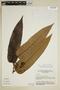 Virola elongata (Benth.) Warb., Brazil, G. T. Prance 15120, F
