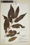 Virola elongata (Benth.) Warb., Brazil, G. T. Prance 15310, F
