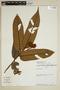 Virola loretensis A. C. Sm., Peru, J. Revilla 3680, F