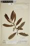 Virola michelii Heckel, Suriname, B. Maguire 54419, F