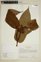 Virola mollissima (Poepp. ex A. DC.) Warb., Colombia, M. Monsalve Benavides 475, F