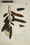 Virola oleifera (Schott) A. C. Sm., Brazil, R. Reitz 8476, F