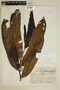 Virola reidii Little, Ecuador, E. L. Little, Jr. 6157, F