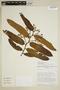 Virola surinamensis (Rol. ex Rottb.) Warb., Ecuador, D. A. Neill 6673, F