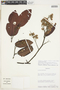 Pakaraimaea dipterocarpacea subsp. nitida Maguire & Steyerm., Venezuela, R. L. Liesner 20031, F