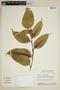Heisteria spruceana Engl., Brazil, I. Cordeiro 310, F