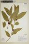 Heisteria spruceana Engl., Peru, S. T. McDaniel 21666, F