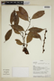 Heisteria spruceana Engl., Ecuador, W. A. Palacios 4809, F