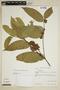 Heisteria spruceana Engl., Brazil, T. C. Plowman 6375, F