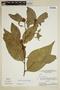 Heisteria spruceana Engl., Brazil, G. T. Prance 3994, F