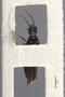3048046 Philonthus tristipennis ST v IN