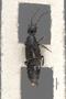 3048046 Philonthus tristipennis ST d IN