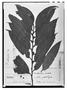 Field Museum photo negatives collection; Genève specimen of Ternstroemia salicifolia DC., GUADELOUPE, C. G. Bertero, Type [status unknown], G