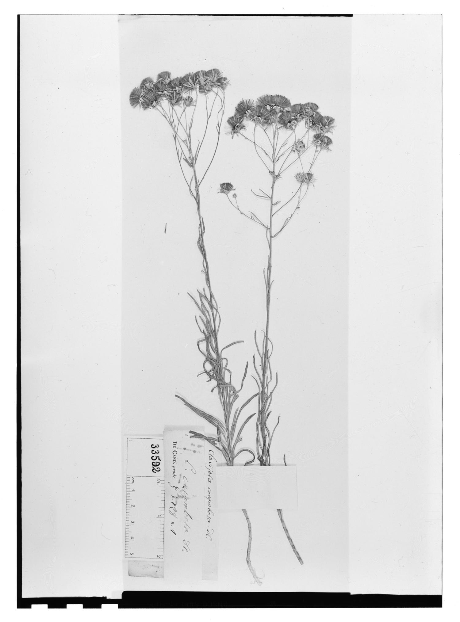Brickellia corymbosa image