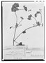 Field Museum photo negatives collection; Genève specimen of Mikania sieberiana DC., Trinidad and Tobago, F. W. Sieber 225, Type [status unknown], G