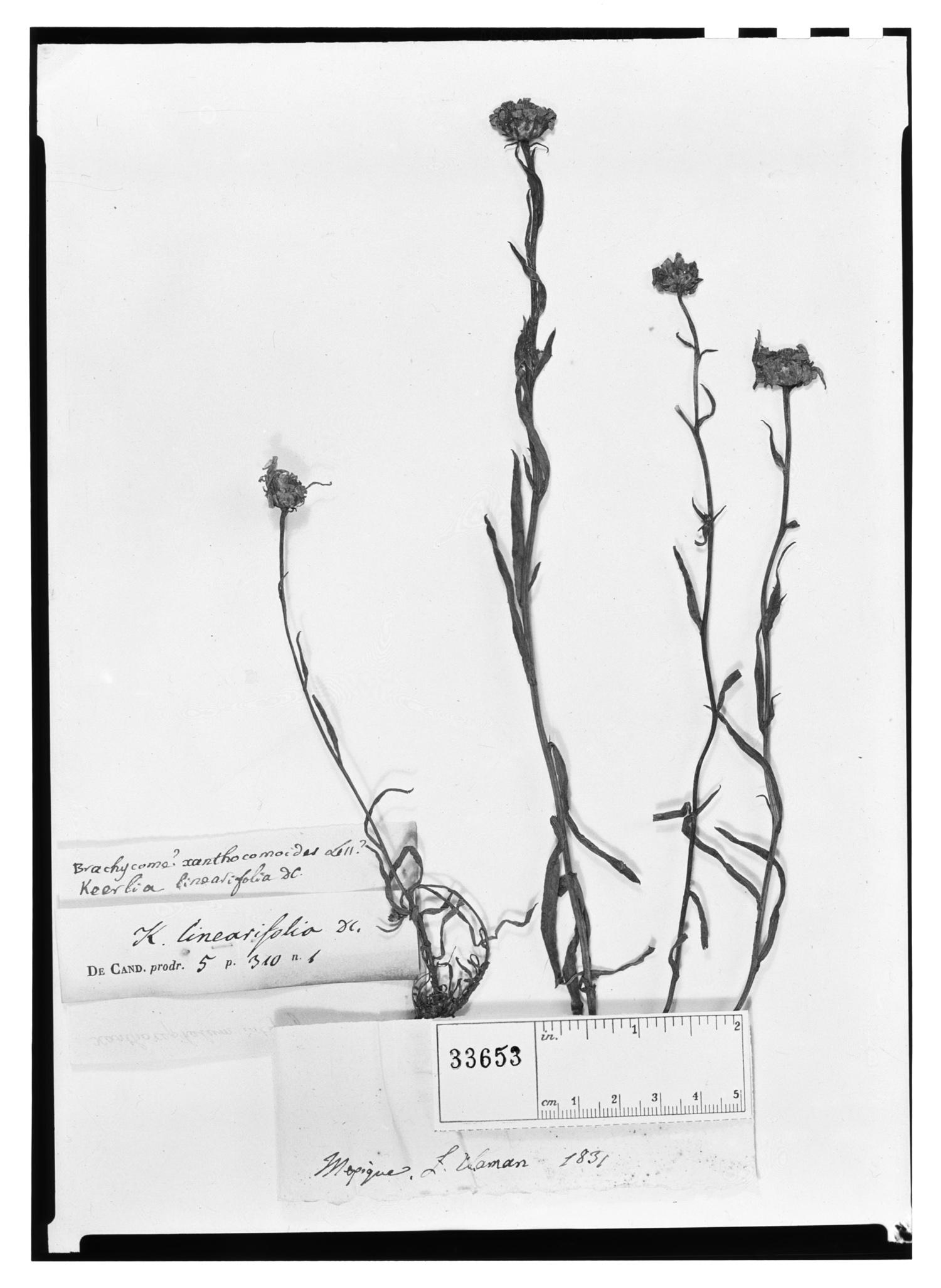 Gutierrezia alamanii image