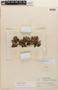 Geranium weddellii Briq., Peru, J. J. Soukup 537, F