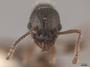 2822025 Myrmica fracticornis h IN
