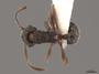 2822025 Myrmica fracticornis d IN