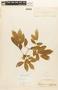 Zygia latifolia var. glabrata (Mart.) Barneby & J. W. Grimes, BRAZIL, F