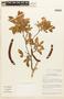 Zygia latifolia var. lasiopus (Benth.) Barneby & J. W. Grimes, BRAZIL, F
