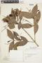 Myrcia coumete (Aubl.) DC., Suriname, J. G. Wessels Boer 1265, F