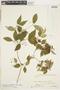 Myrcia multiflora (Lam.) DC., Bolivia, J. Steinbach 8406, F