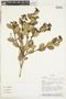 Myrcianthes rhopaloides (Kunth) McVaugh, Ecuador, W. A. Palacios 6996, F
