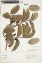 Psidium guajava L., Argentina, T. M. Pedersen 16180, F