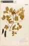 Caesalpinia ferrea Mart., Brazil, H. S. Irwin 2368, F